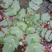 Leatherleaf Mahonia - Photo (c) Curtis Hansen, all rights reserved