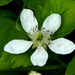 Pennsylvania Blackberry - Photo (c) John B. (Dendroica cerulea), some rights reserved (CC BY)