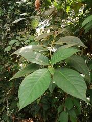 Siparuna gesnerioides image