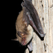 Cave Myotis - Photo (c) Jason Penney, all rights reserved