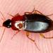 Calathus melanocephalus - Photo (c) gernotkunz, todos los derechos reservados