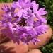 Glandularia selloi - Photo (c) diegopatino, όλα τα δικαιώματα διατηρούνται