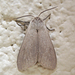 Milkweed Tussock Moth - Photo (c) Bill Keim, all rights reserved