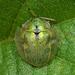 Geiger Tortoise Beetle - Photo (c) Jay L. Keller, all rights reserved