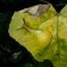 Chloraea - Photo (c) Ben Mobo, כל הזכויות שמורות
