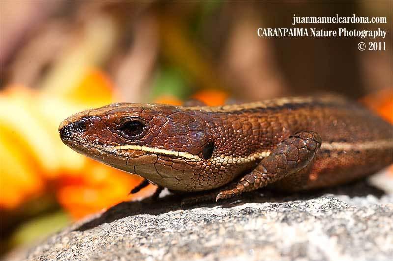 Lagartija minadora subtropical - Photo (c) Juan Manuel Cardona Granda, todos los derechos reservados