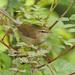 Horornis flavolivaceus - Photo (c) David Beadle, todos los derechos reservados, uploaded by dbeadle