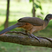 Rufous-vented Chachalaca - Photo (c) RUIZ Jean Marc, all rights reserved