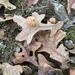 Atrusca quercuscentricola - Photo (c) marshallj200, todos los derechos reservados