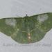 Tanaorhinus rafflesii - Photo (c) Roger C. Kendrick, todos los derechos reservados