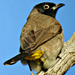 White-spectacled Bulbul - Photo (c) Tamsin Carlisle, all rights reserved