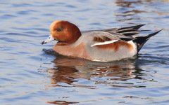 Eurasian Wigeon - Photo (c) Isaac Sanchez, all rights reserved, uploaded by isaacsanchez