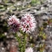 Pink Swamp Heath - Photo (c) Helena Hautova, all rights reserved