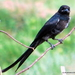 Black Drongo - Photo (c) Rajib Maulick, all rights reserved