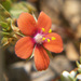 Scarlet Pimpernel - Photo (c) Tig, all rights reserved