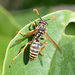 European Paper Wasp - Photo (c) Dimitǎr Boevski, some rights reserved (CC BY)