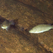 Spangled Perch - Photo (c) Rudolf Svensen, all rights reserved