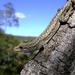 Lygodactylus klugei - Photo (c) Edésio Felix, todos los derechos reservados