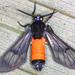 Cosmosoma zurcheri - Photo (c) gernotkunz, todos los derechos reservados