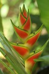 Heliconia wagneriana image