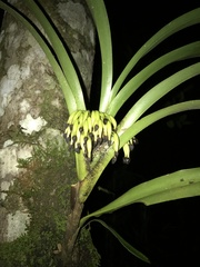 Maxillaria fulgens image