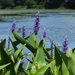 Pickerelweed - Photo (c) Graham Montgomery, all rights reserved