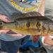 Orinoco Peacock Bass - Photo (c) Juan Miguel Artigas Azas, all rights reserved