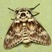 Podalia orsilochus - Photo (c) Graham Montgomery, כל הזכויות שמורות