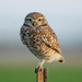 Burrowing Owl - Photo (c) Jason Penney, all rights reserved
