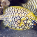 Cleidopus gloriamaris - Photo (c) Rudolf Svensen, todos los derechos reservados