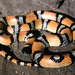 Western Milksnake - Photo (c) Michael Price, some rights reserved (CC BY-NC-ND)
