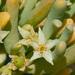 Augea capensis - Photo (c) Tig, כל הזכויות שמורות