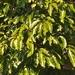 Schefflera heptaphylla - Photo (c) 古國順, todos los derechos reservados