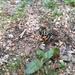 Artimelia latreillii - Photo (c) armandobarbosa, todos los derechos reservados