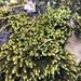 Hedwigia ciliata - Photo (c) Katama Rose Murray, todos los derechos reservados