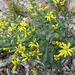 Fremont's Ragwort - Photo (c) invertboy, all rights reserved, uploaded by Chris Brown