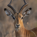 Common Impala - Photo (c) ivanparr, all rights reserved