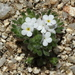 Mountain Red-root Cryptantha - Photo (c) Jay L. Keller, all rights reserved