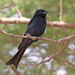 Glossy-backed Drongo - Photo (c) Charles J Sharp , some rights reserved (CC BY-SA)