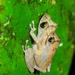 Pristimantis esmeraldas - Photo (c) andriusp, todos los derechos reservados