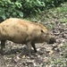 Western Bearded Pig - Photo (c) viveknaturalist, all rights reserved