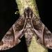 Eumorpha anchemolus - Photo (c) gernotkunz, כל הזכויות שמורות