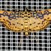 Asturodes fimbriauralis - Photo (c) gernotkunz, all rights reserved