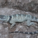 Crevice Spiny Lizard - Photo (c) Michael Price, all rights reserved