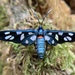 Cool Hornet-Moth - Photo (c) The Leach, all rights reserved