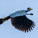 Turacos - Photo (c) Rogério Ferreira, all rights reserved