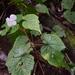 Begonia areolata - Photo (c) Trey Sanders, todos los derechos reservados