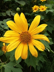 Mexican Sunflower - Photo (c) Alejandra Ayarza, all rights reserved