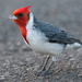 Red-crested Cardinal - Photo (c) Mason Maron, all rights reserved