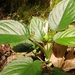 Xanthosoma viviparum - Photo (c) Felipe Serrano, todos los derechos reservados